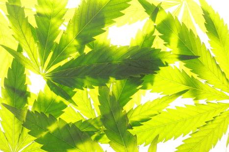 Cannabis As Herbal Medicine