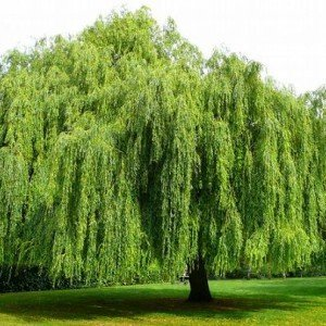 The Symbolization Of A Weeping Willow Tree