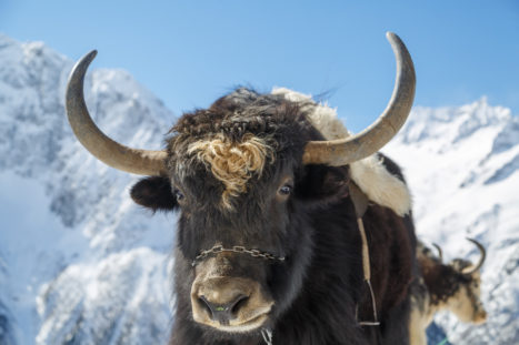 Yak Faks: The Incredible Yak And Its Symbiotic Relationship With Tibetans